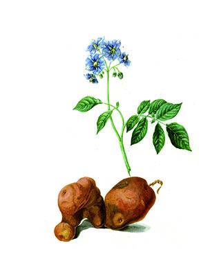 La planta de la patata