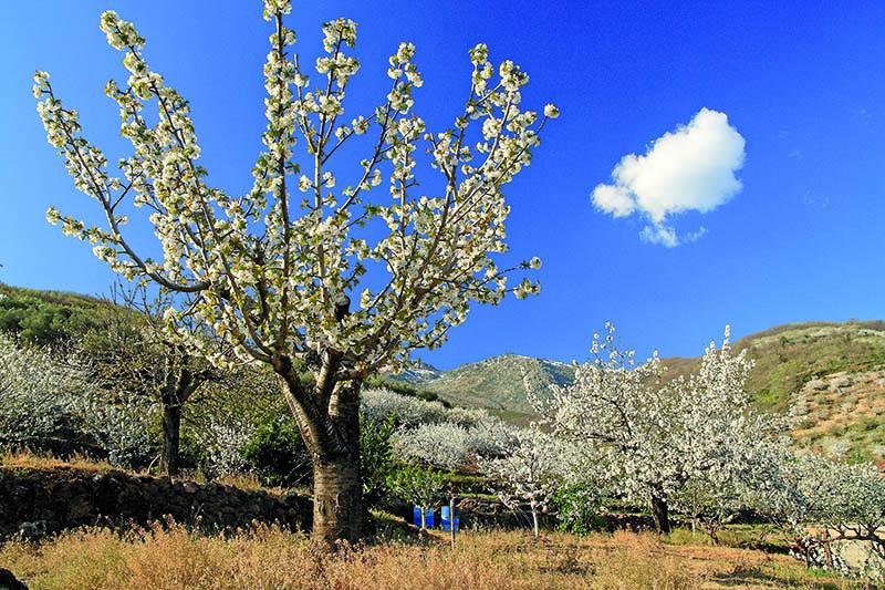 Cerezos Valle del Jerte